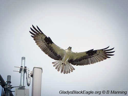 The adult male plays an important role with the upbringing of the young osprey.