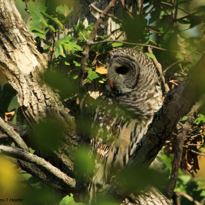 The first barred owl released is still perched in the tree!