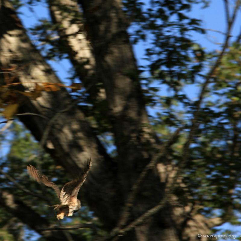 Fly grey screech owl, fly!
